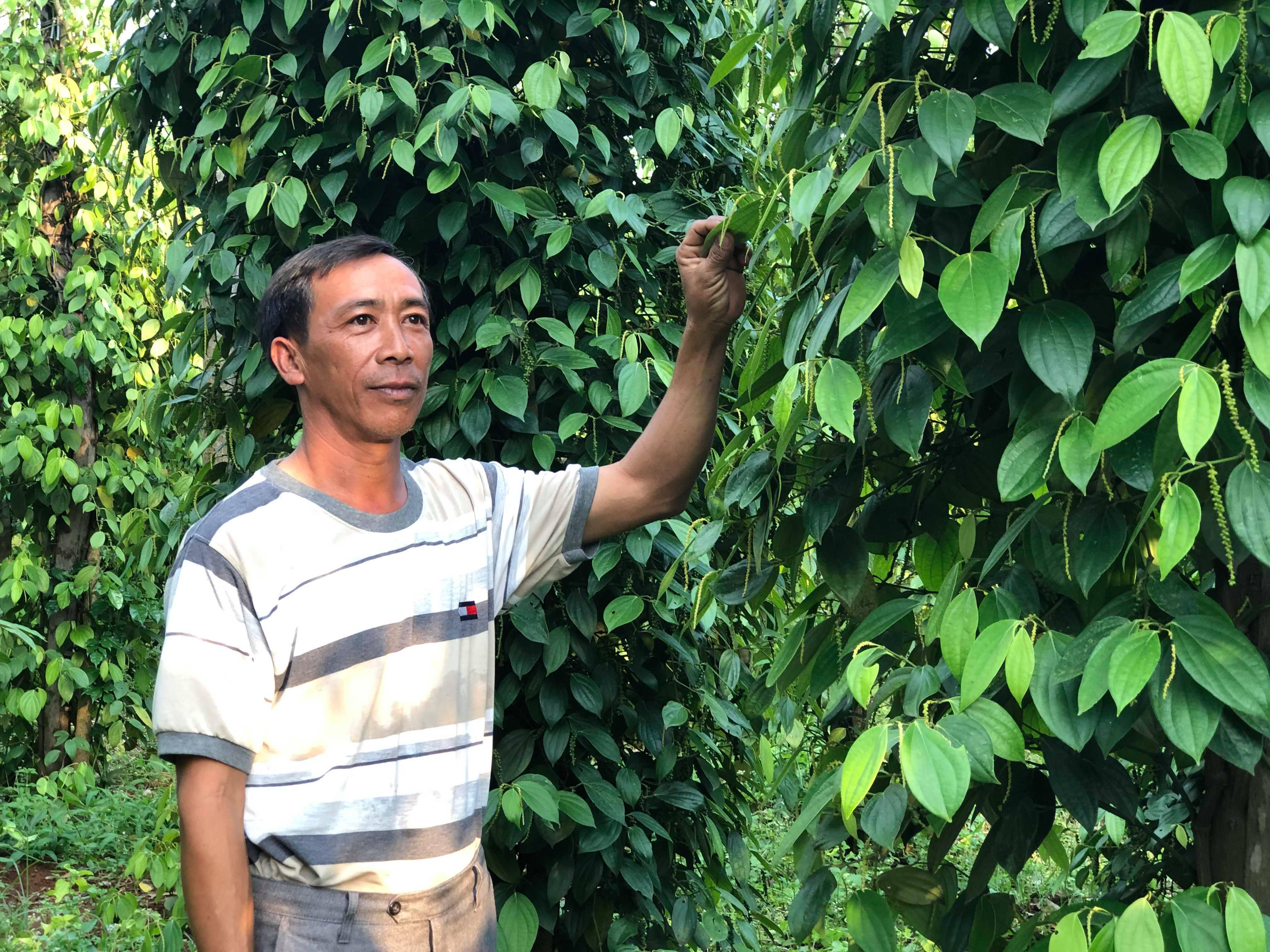 Nguyen Van Quang - Pepper farmer in Ia Phang village, Gia Lai province - Photo: Hong Van