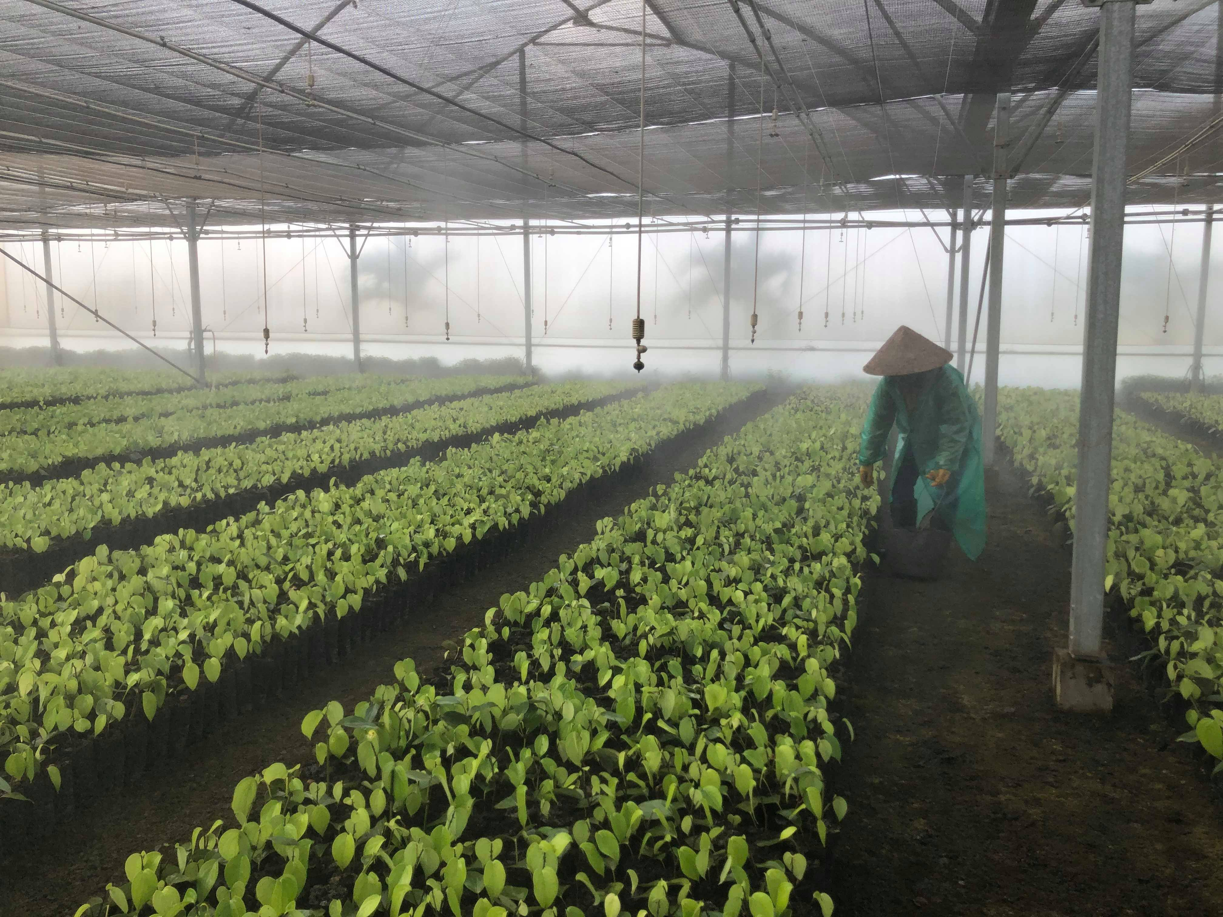 The pepper nursery in Olam's pepper plantation at Ia Le village, Chư Pưh district in Gia Lai province - Photo: Hong Van