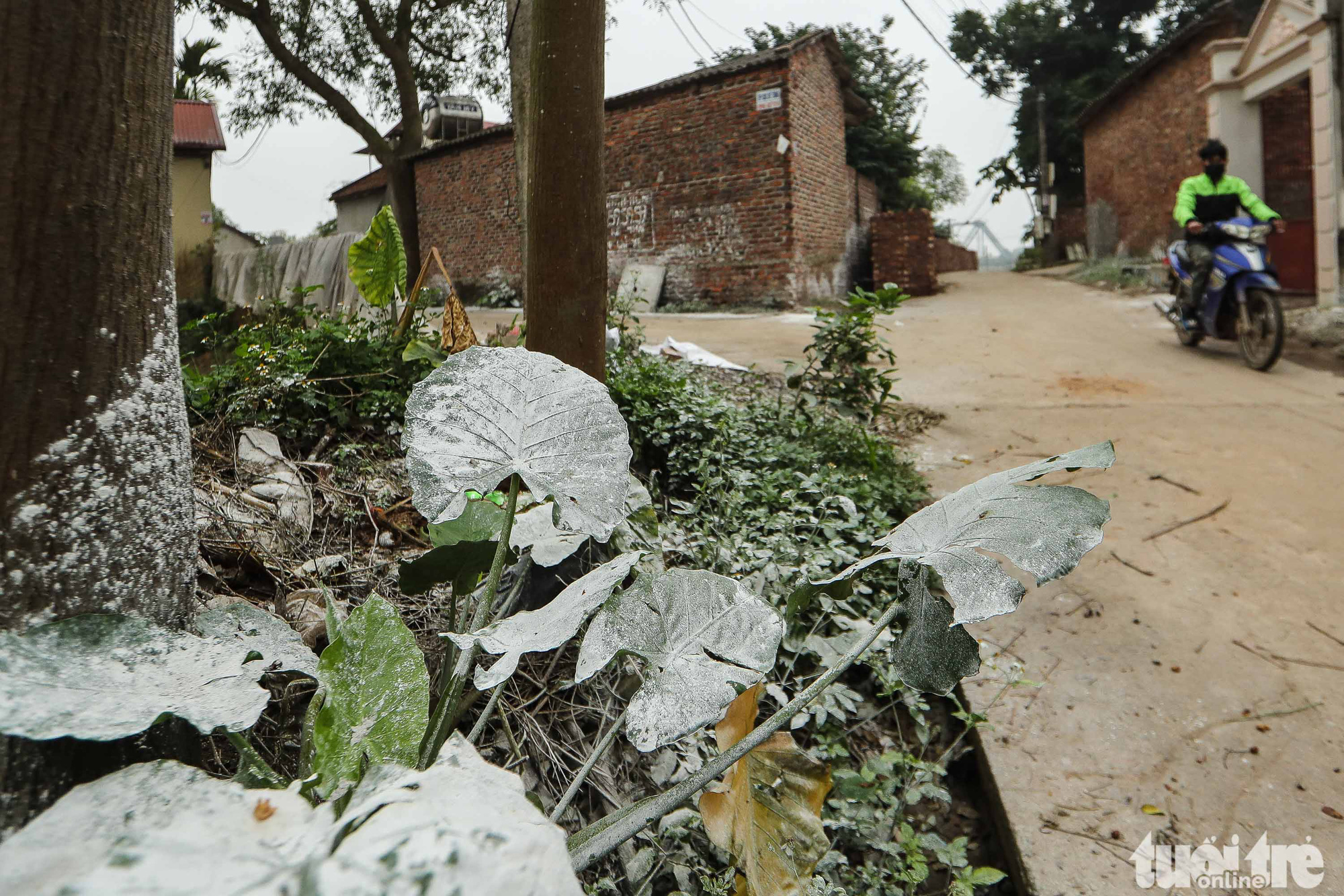Residue of calcium hydroxide used for disinfection is seen on plants in Ai Van village in Son Loi Commune, Binh Xuyen District, Vinh Phuc Province, Vietnam in this photo taken on February 11, 2020. Photo: Nguyen Khanh / Tuoi Tre