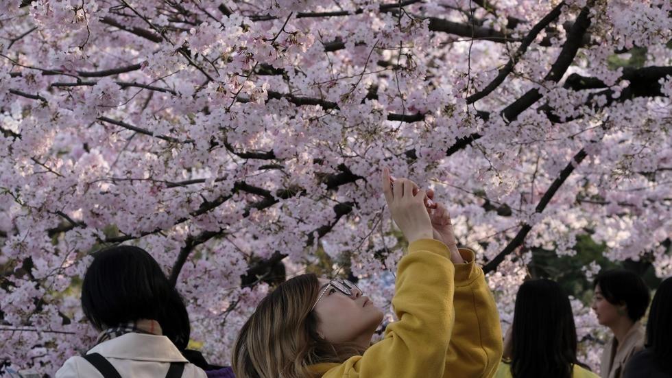 Japan cherry blossom festivals cancelled as virus fears grow