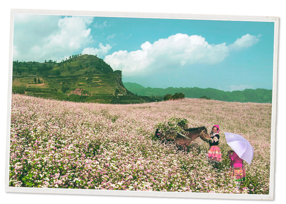 Ethnic women are seen on a field of blooming buckwheat flowers in Ha Giang Province, Vietnam.