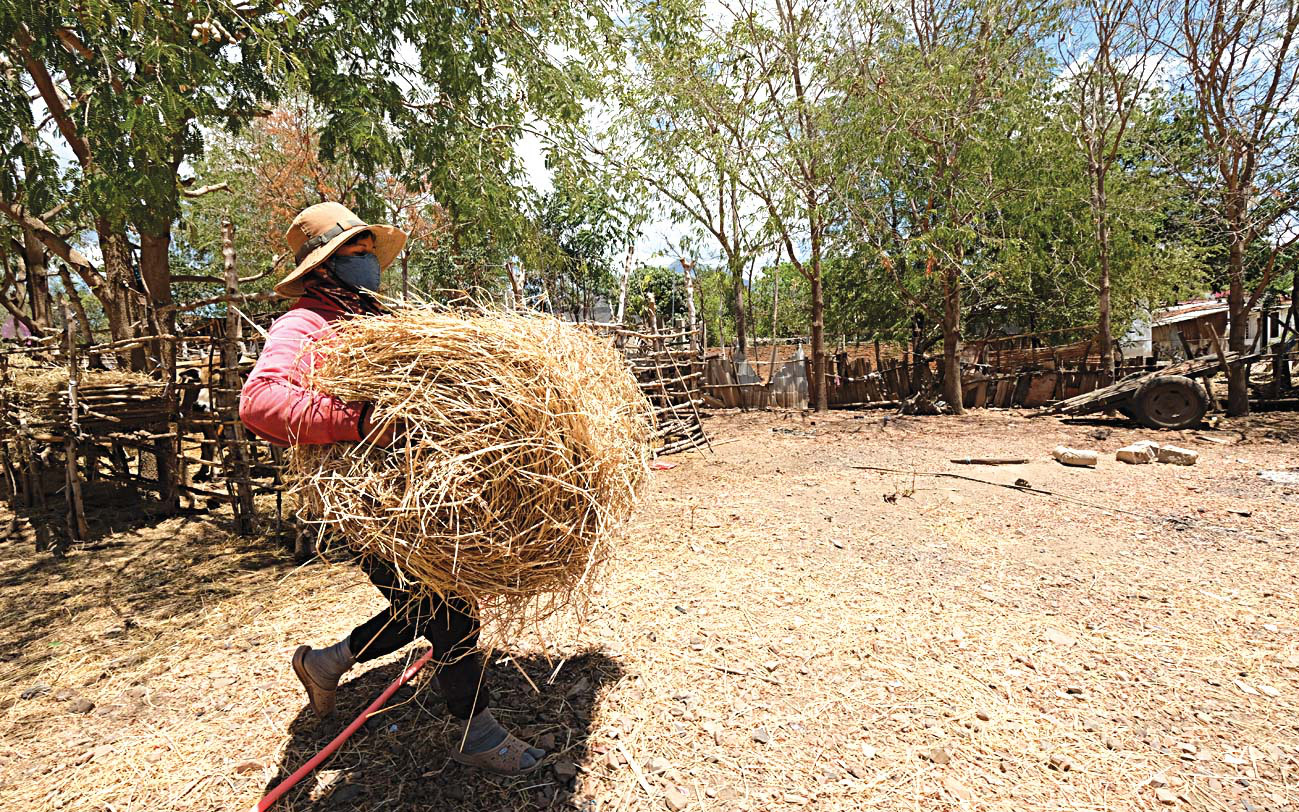 A resident carries a stack of hay in Ninh Thuan Province, Vietnam. Photo: Mai Vinh / Tuoi Tre