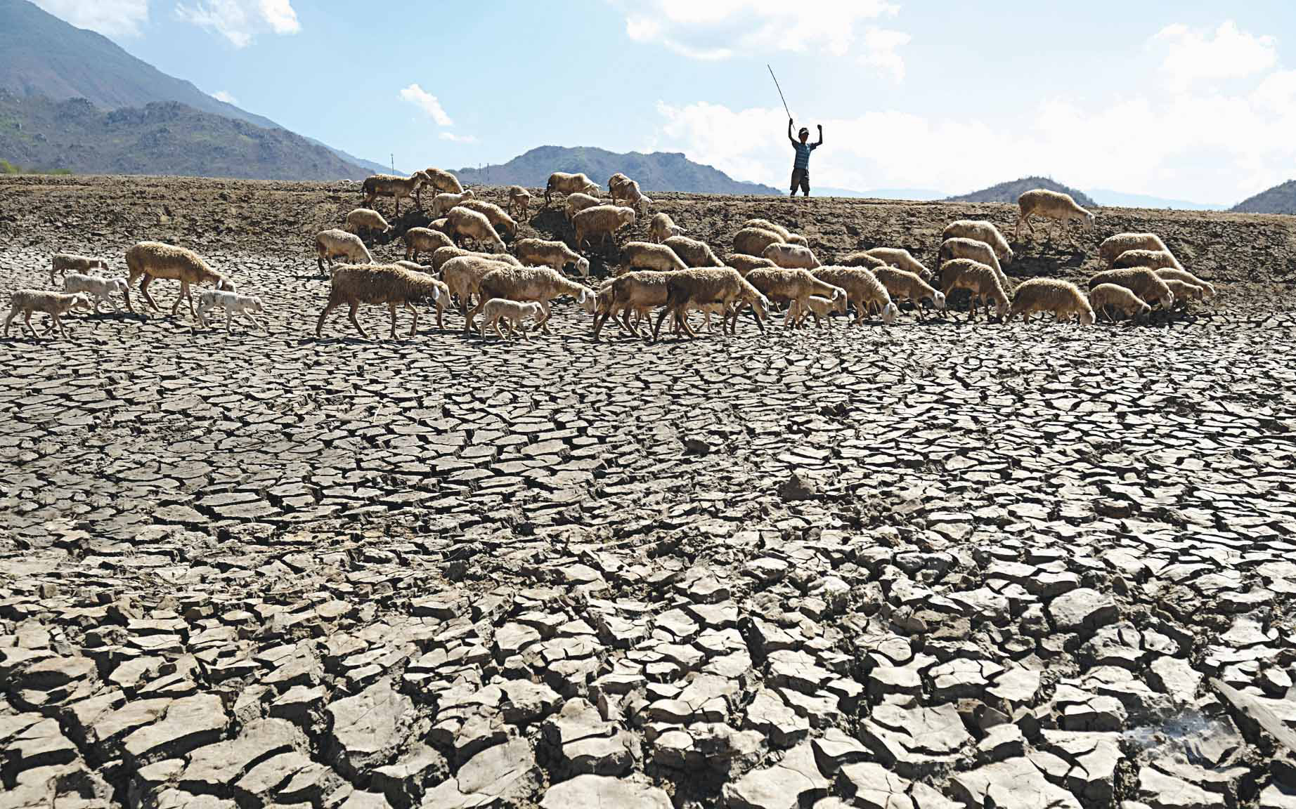 Cattle graze on dried-up Phuoc Trung Lake in Ninh Thuan Province, Vietnam. Photo: Mai Vinh / Tuoi Tre