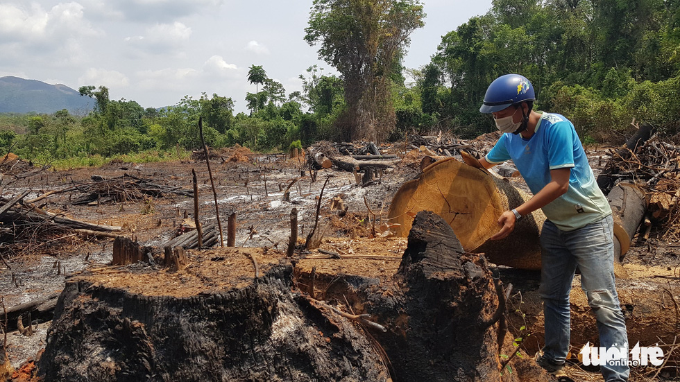 A large tree is felled and burned in a forest in Ia Dreh Commune, Krong Pa District, Gia Lai Province, Vietnam, April 2020. Photo: Huynh Cong Dong / Tuoi Tre
