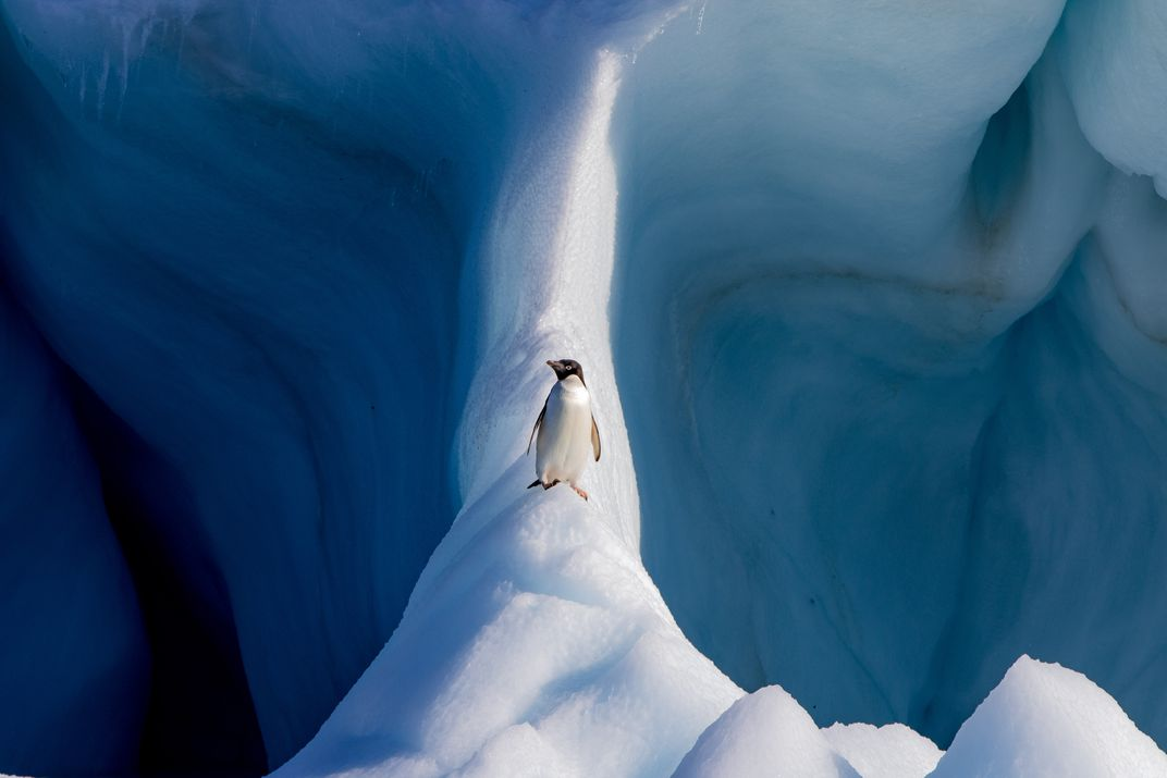 The photo 'Adélie penguin on an iceberg' by Conor Ryan wins the Natural World award of the 17th annual Smithsonian magazine photo contest. The photo shows an Adélie penguin standing on an iceberg off Devil Island, Antarctica.