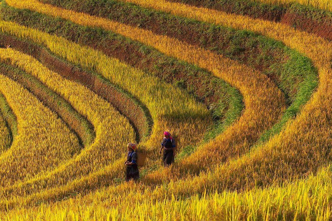 Harvest season at Mu Cang Chai District in Yen Bai northern province through Prabu Mohan's lens. Photo: Supplied