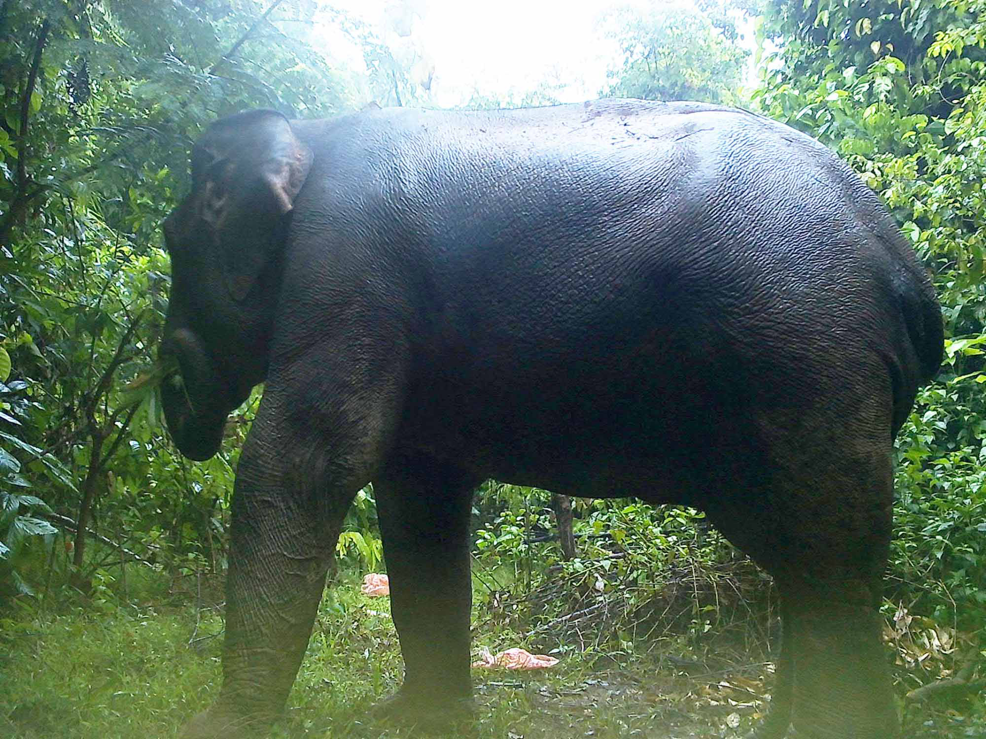An elephant is captured by a camera trap set up in the Quang Nam Elephant Sanctuary, located in the namesake province in central Vietnam, in this supplied photo.