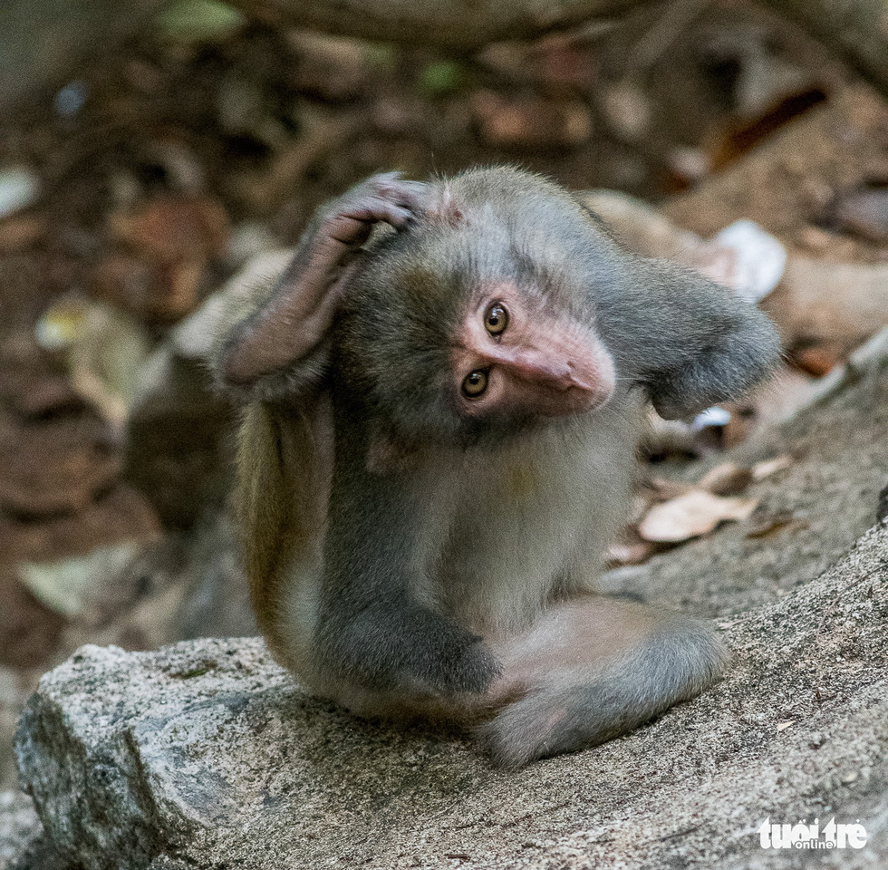 A monkey with three amputated limbs is seen scratching his head by his only hand left on a rock near Linh Ung Pagoda. Photo: Nguyen Cong Hung