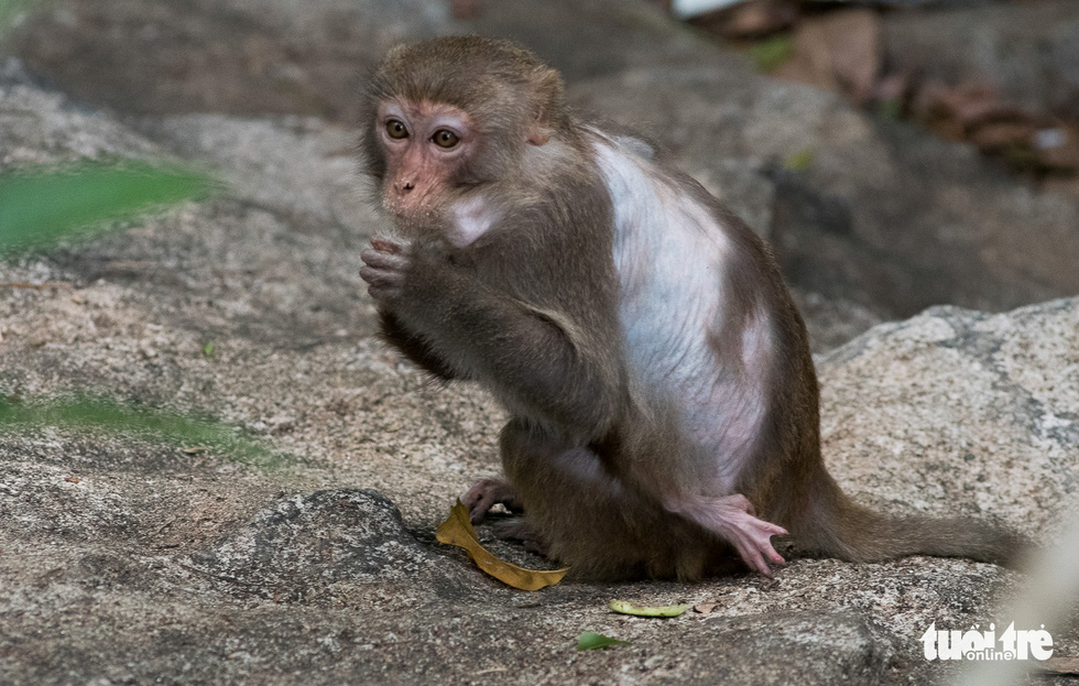 A little monkey lost a piece of hair on his back.
