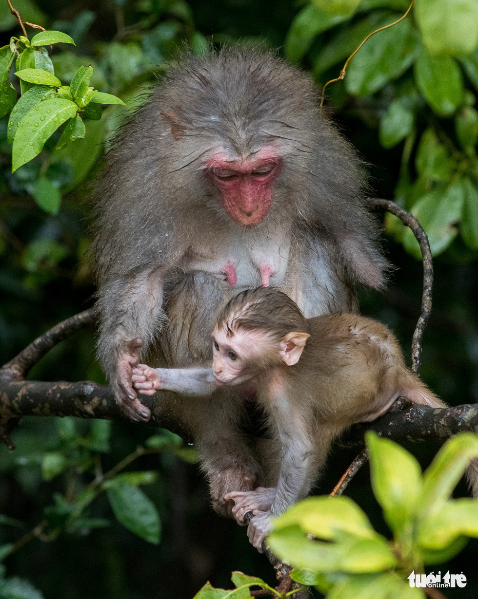 A monkey with her left hand amputated is seen with her baby.
