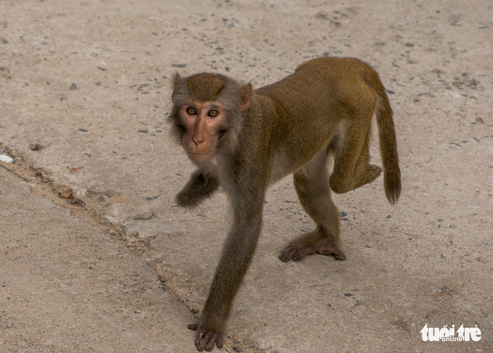 A monkey struggles to walk with his two limbs left.
