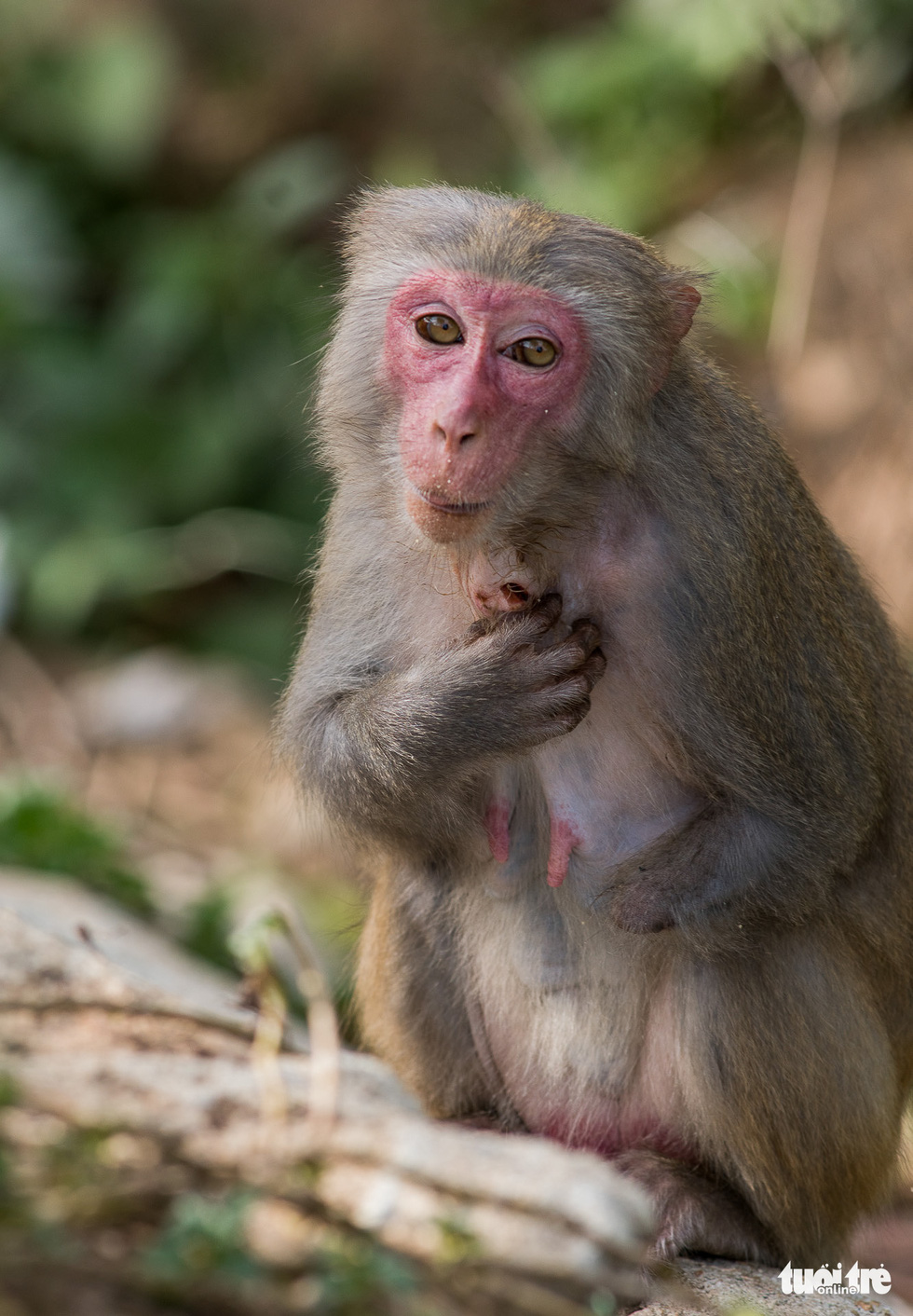 A hand-amputated monkey with a wound on his neck from allegedly being shot.
