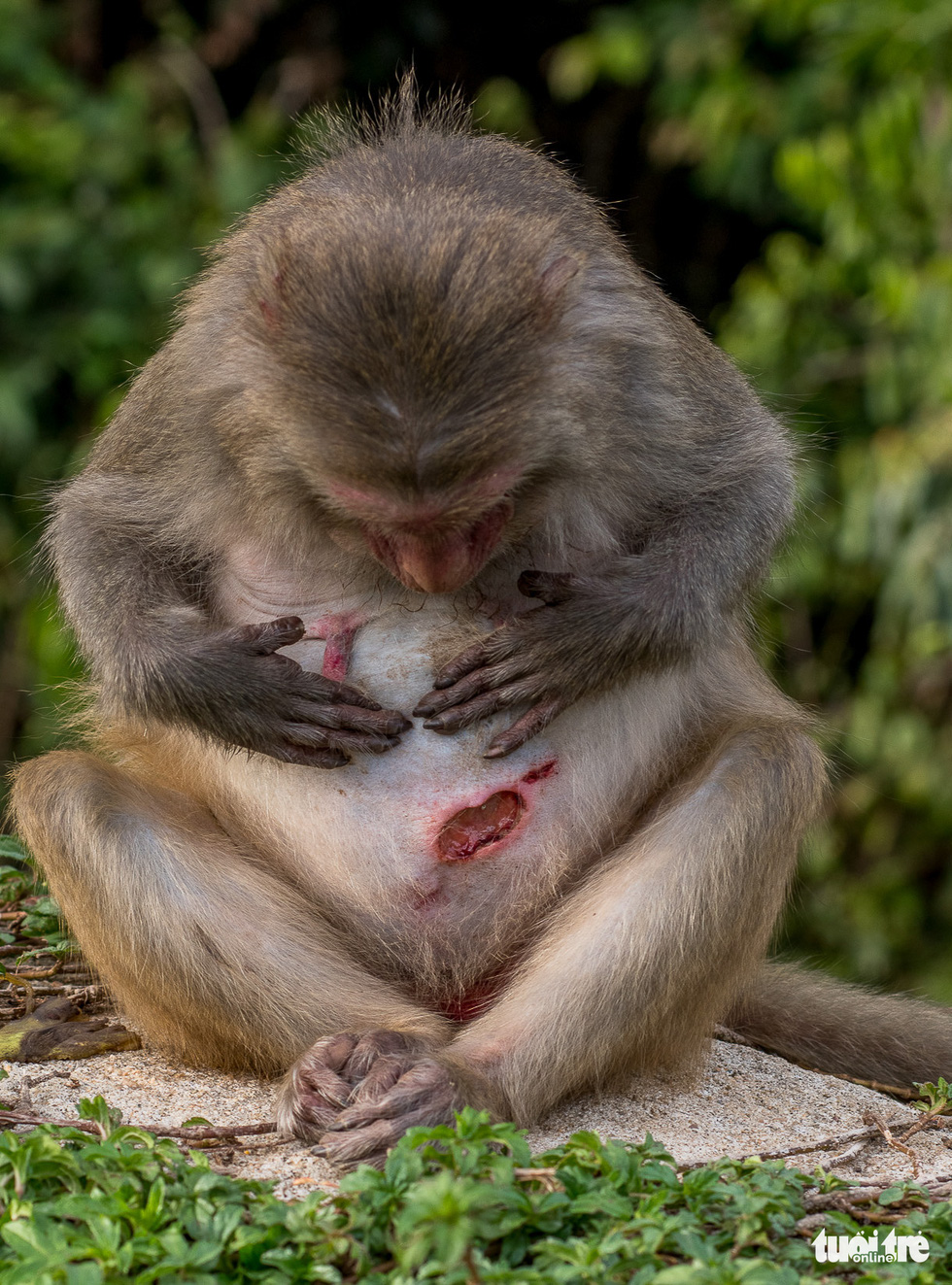 A monkey looks at the wound on his belly.