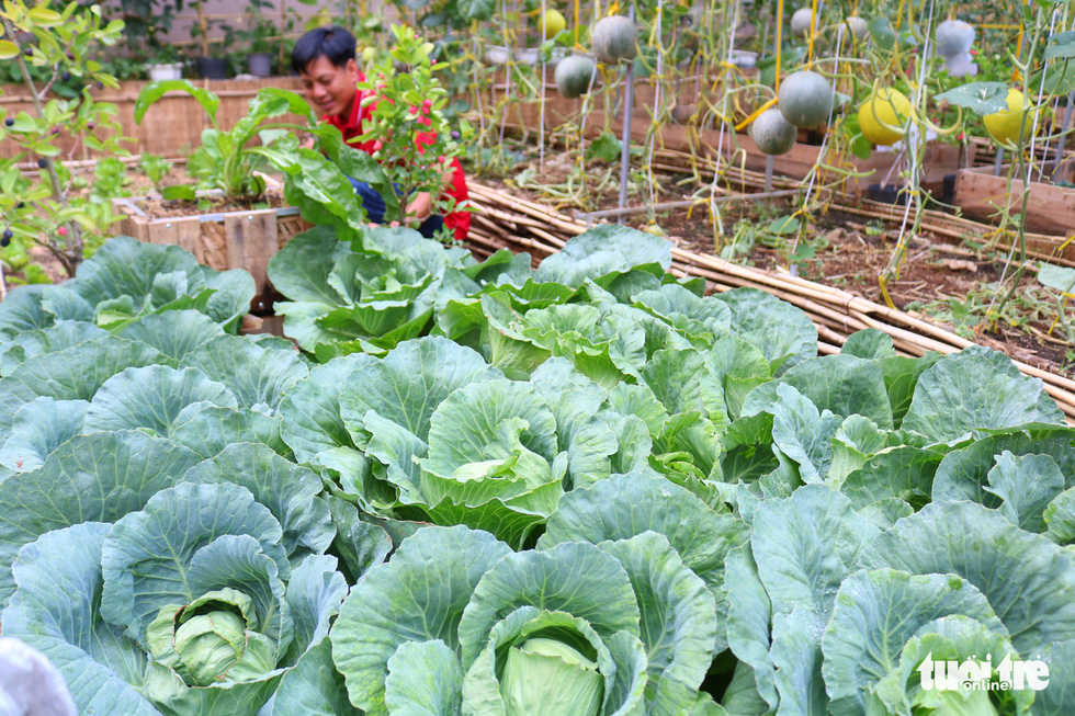 Cabbages are grown in raised beds in a garden in Binh Chanh District, Ho Chi Minh City, Vietnam in this photo taken on May 16, 2020. Photo: Ngoc Phuong / Tuoi Tre