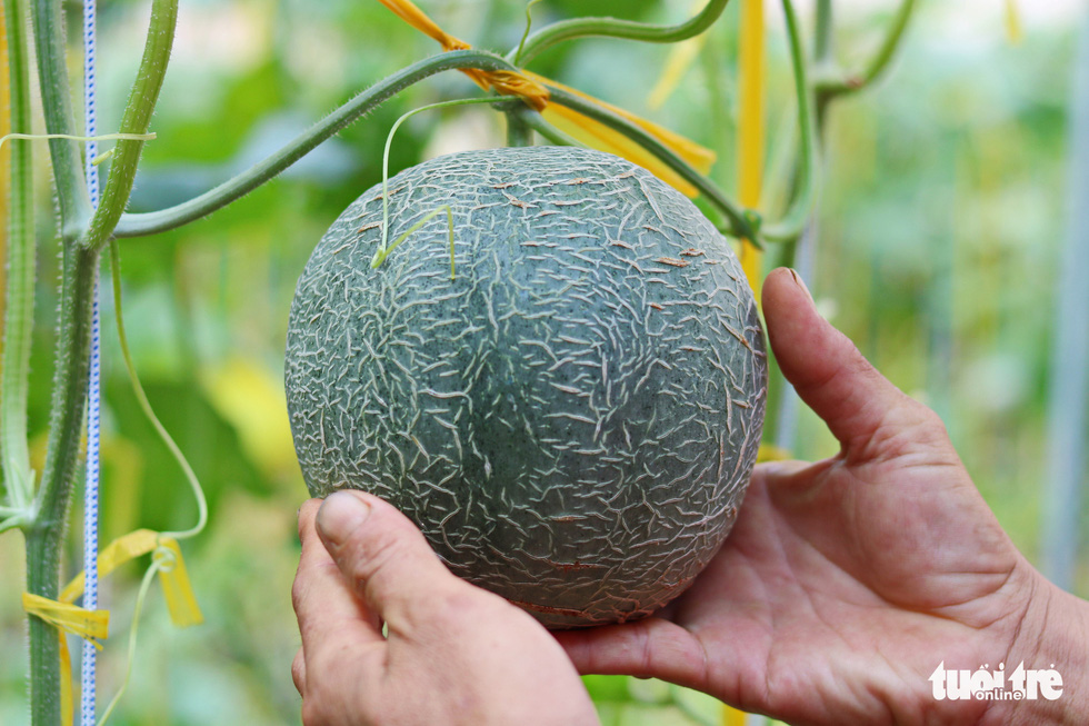 A melon in Nguyen Ba Trinh's garden in Binh Chanh District, Ho Chi Minh City, Vietnam is seen in this photo taken on May 16, 2020. Photo: Ngoc Phuong / Tuoi Tre