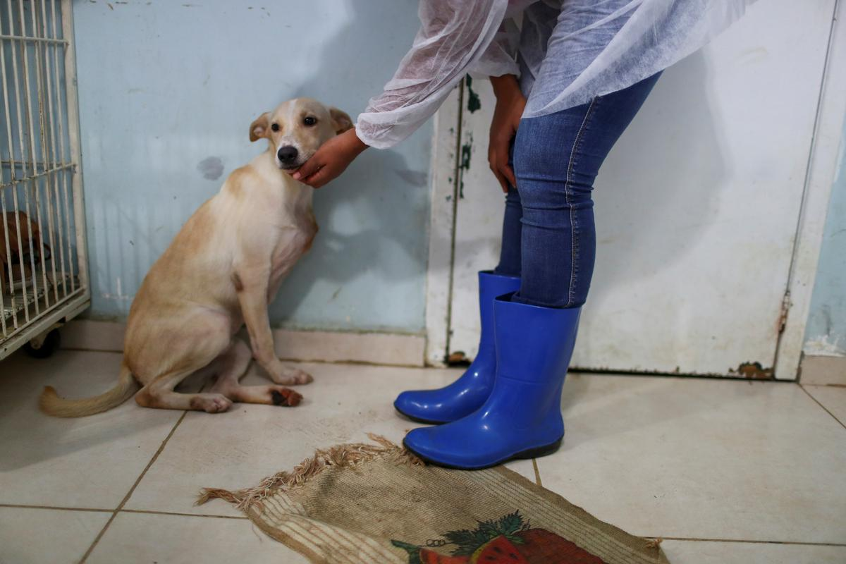 A veterinarian pets Nico at a shelter managed by the Rio de Janeiro City Hall, that launched a pet delivery campaign to find homes for abandoned animals, during the coronavirus disease (COVID-19) outbreak, in Rio de Janeiro, Brazil May 15, 2020. Photo: Reuters