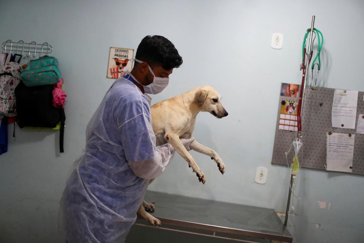 A worker carries Dorothy for her last vaccine before being adopted at a shelter managed by the Rio de Janeiro City Hall, that launched a pet delivery campaign to find homes for abandoned animals, during the coronavirus disease (COVID-19) outbreak, in Rio de Janeiro, Brazil May 15, 2020. Photo: Reuters