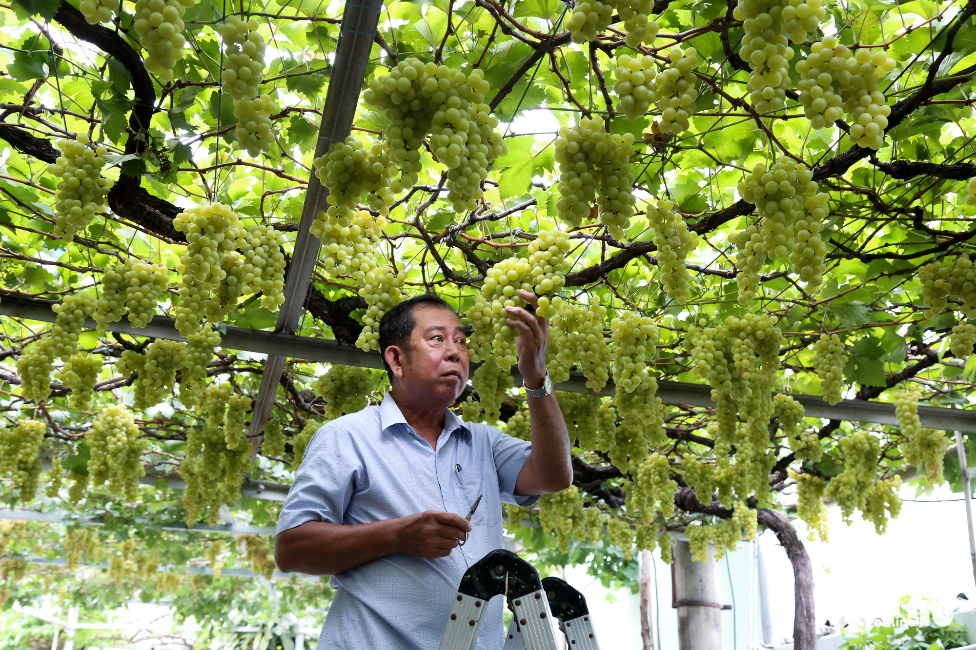 Ho Chi Minh City man's fruit-laden grapevines inspire home gardening trend