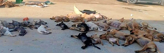 Suspects nabbed for poisoning, stealing 30 dogs, cats in Vietnam