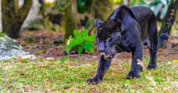 Suspected black panthers sighted in southern Vietnam may be dogs: officers