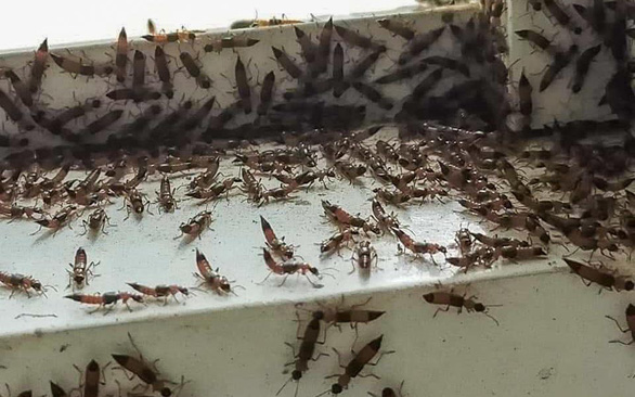 Rove beetles attack Ho Chi Minh City residential quarters
