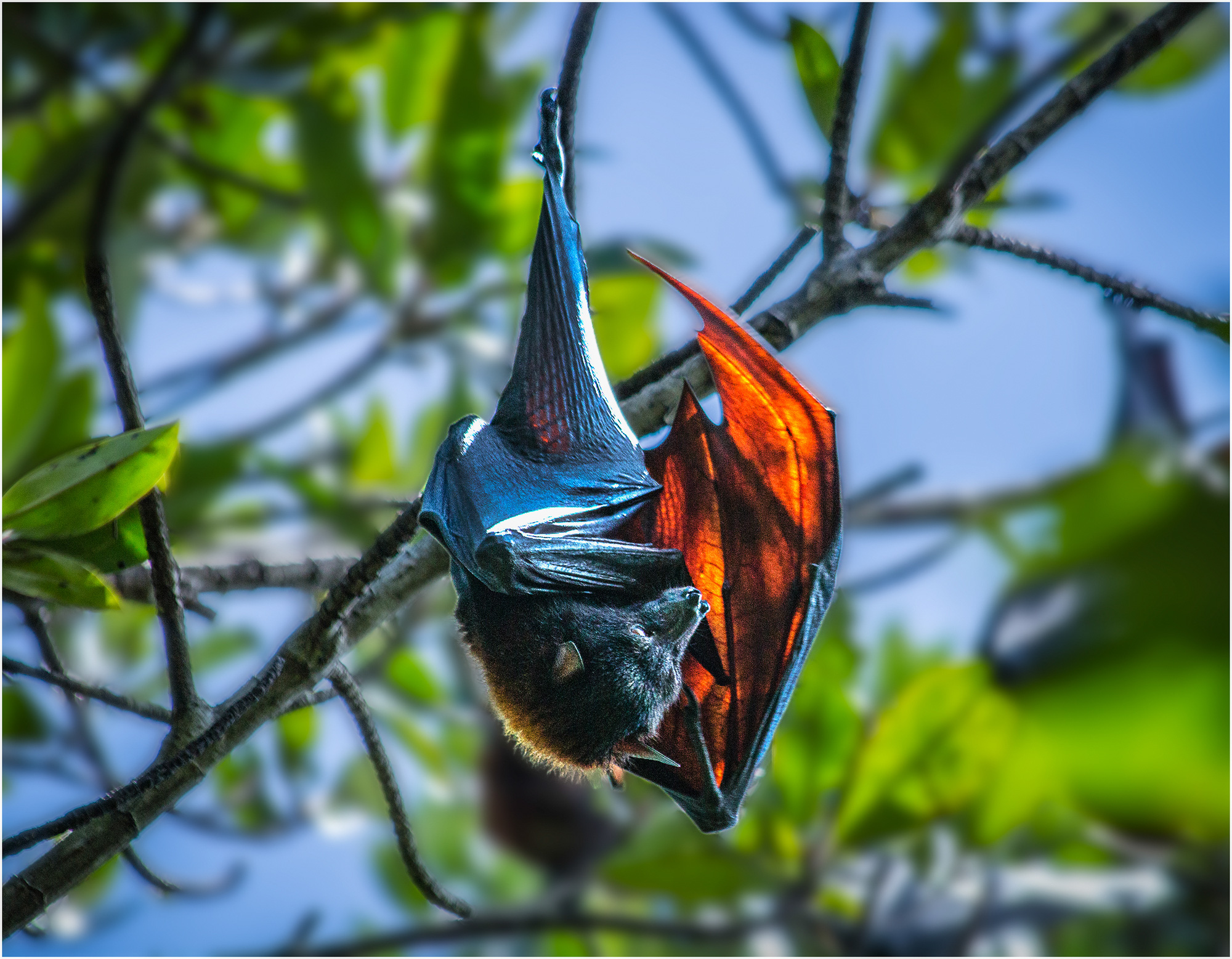 A bat hangs upside down in this photo by Pham Thanh Son, which won third prize at a local photo contest.