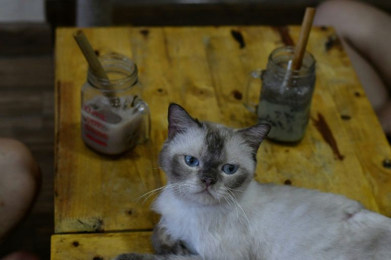 British shorthair Chien at Ngao's Home Cafe in Hanoi, Vietnam. Photo: AFP