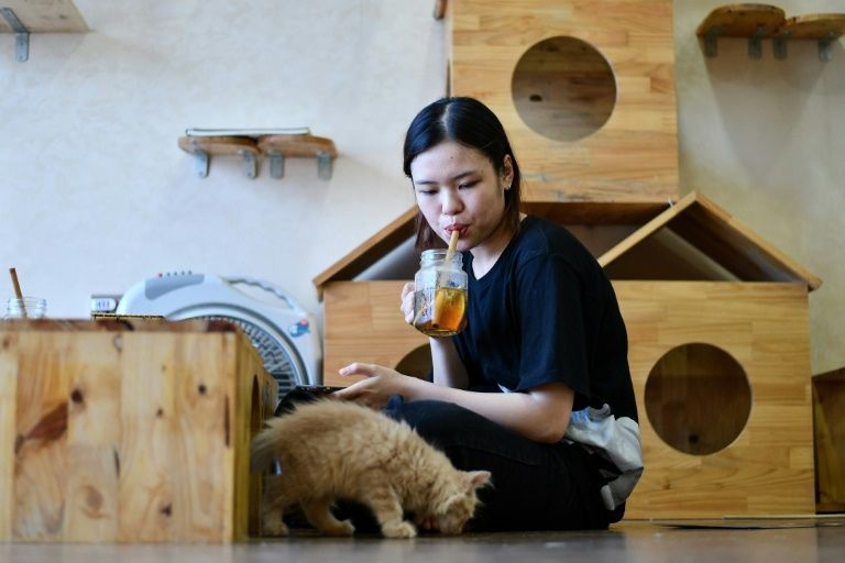 A customer watches a rescued cat at Ngao's Home Cafe in Hanoi, Vietnam. Photo: AFP