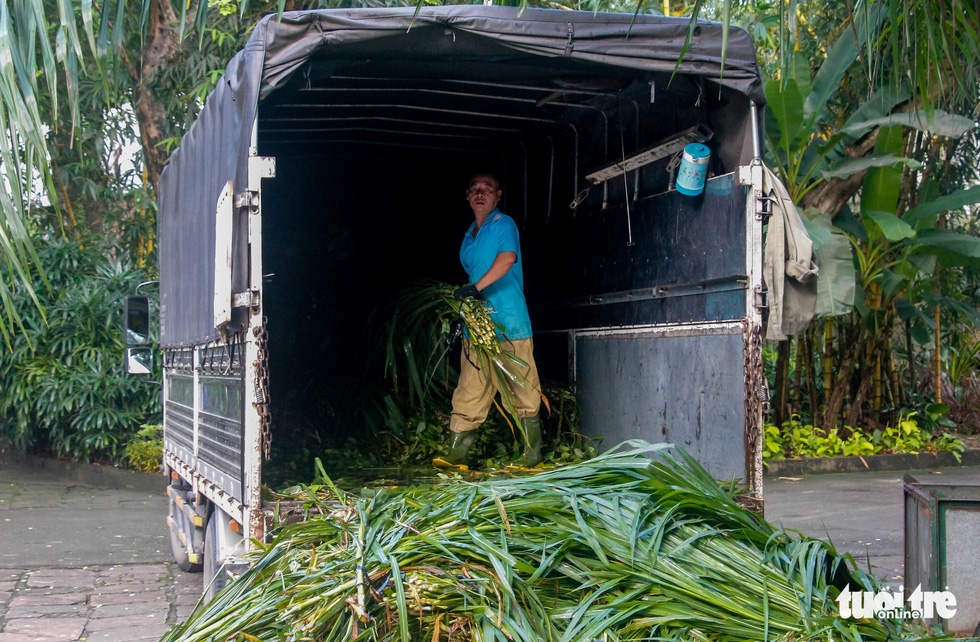 A staff unloads grass for graminivores at the Saigon Zoo and Botanical Gardens in Ho Chi Minh City's District 1 on August 7, 2020. Photo: Chau Tuan/ Tuoi Tre