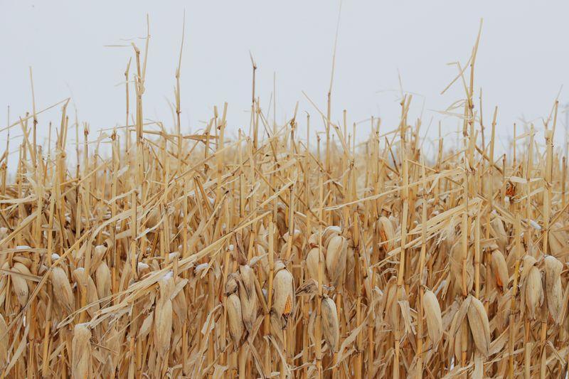 U.S. farmers leave fields fallow as COVID-19 wrecks crop prospects