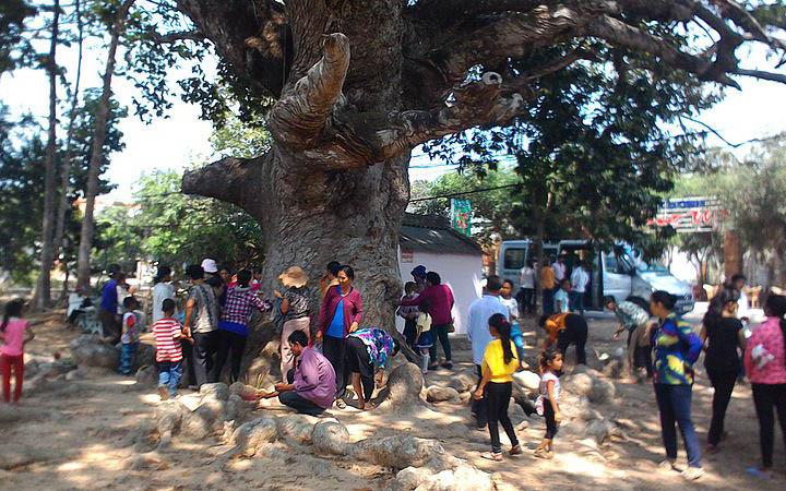 Tree hugger: Meet the man saving Mekong Delta's centuries-old tree