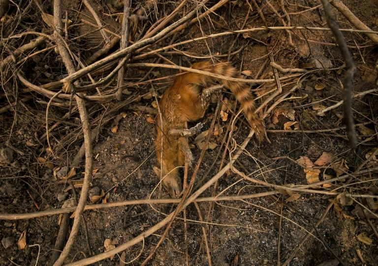 The carcass of a raccoon in a burnt area of the Pantanal wetlands, Mato Grosso State, Brazil in August 2020. Photo: AFP