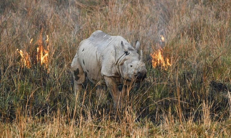 An Indian rhinoceros, also called the greater one-horned rhinoceros, walks through a wildfire in a field at Pobitora Wildlife Sanctuary in Morigaon district, some 45 kms from Guwahati in the Assam state on March 3, 2019. Photo: AFP
