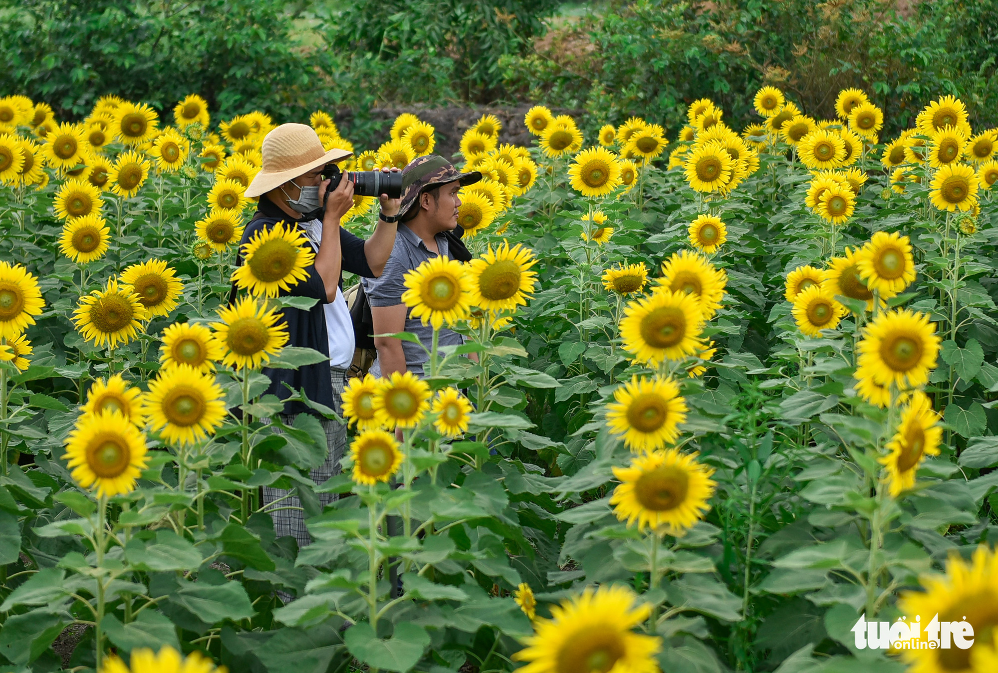 A man takes photos at a sunflower garden located in District 9, Ho Chi Minh City, Vietnam. Photo: Ngoc Phuong / Tuoi Tre