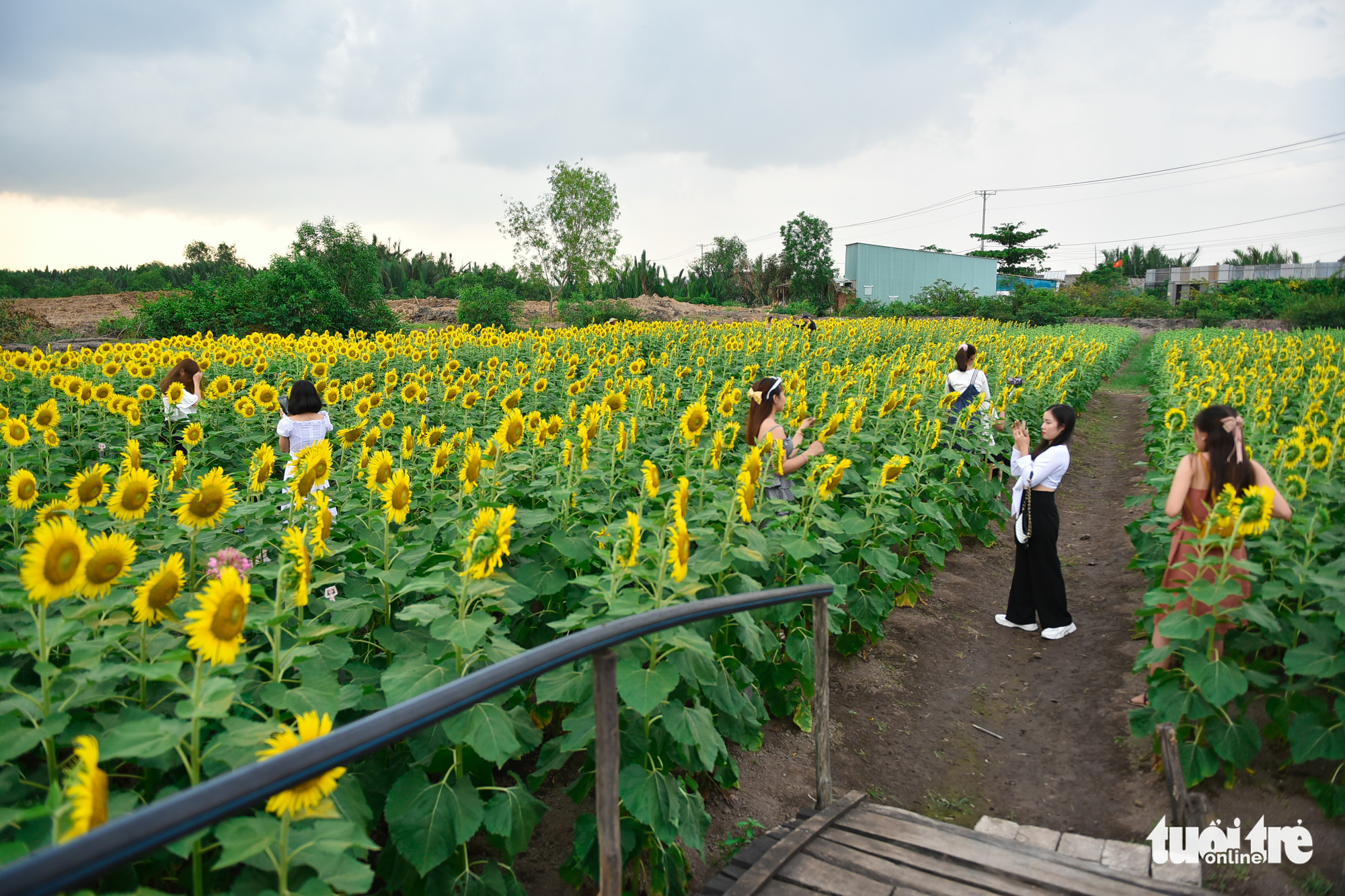 Visitors take photos at a sunflower garden located in District 9, Ho Chi Minh City, Vietnam. Photo: Ngoc Phuong / Tuoi Tre