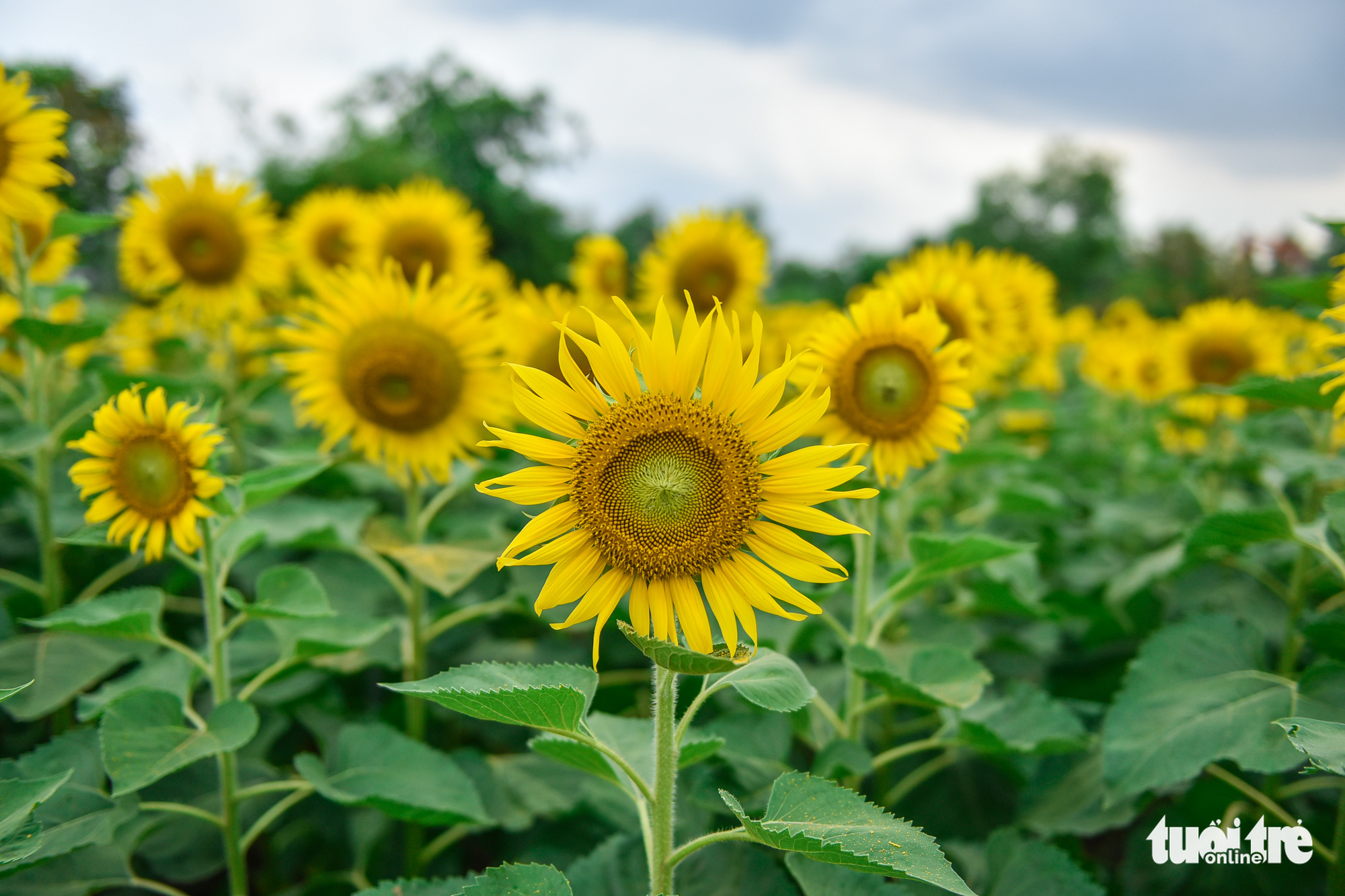 Sunflowers are in full bloom at a garden located in District 9, Ho Chi Minh City, Vietnam. Photo: Ngoc Phuong / Tuoi Tre