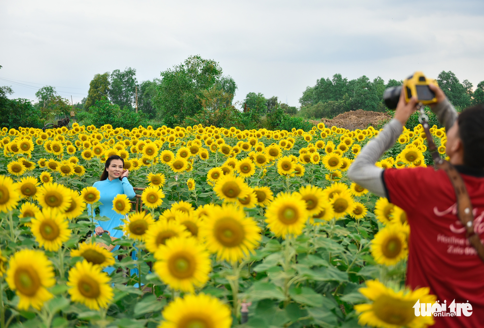 A woman in 'ao dai' pose among sunflowers as her friend takes photos of her at a sunflower garden located in District 9, Ho Chi Minh City, Vietnam. Photo: Ngoc Phuong / Tuoi Tre