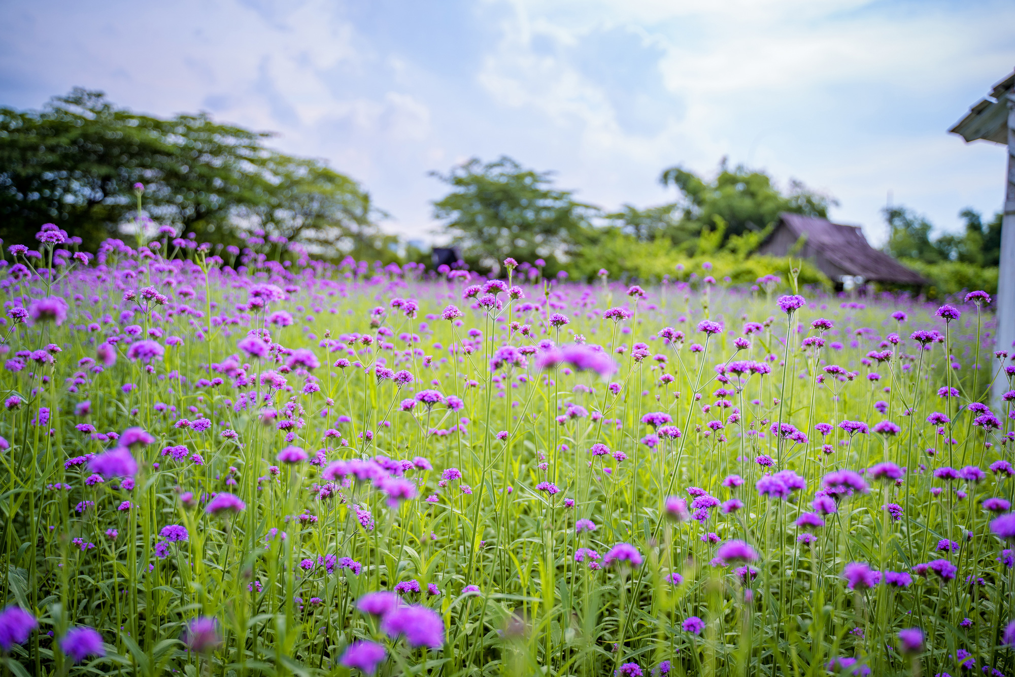 Purpletop plants are in bloom at a farm at the Long Bien flower plateau in Hanoi, Vietnam. Photo: Pham Tuan / Tuoi Tre