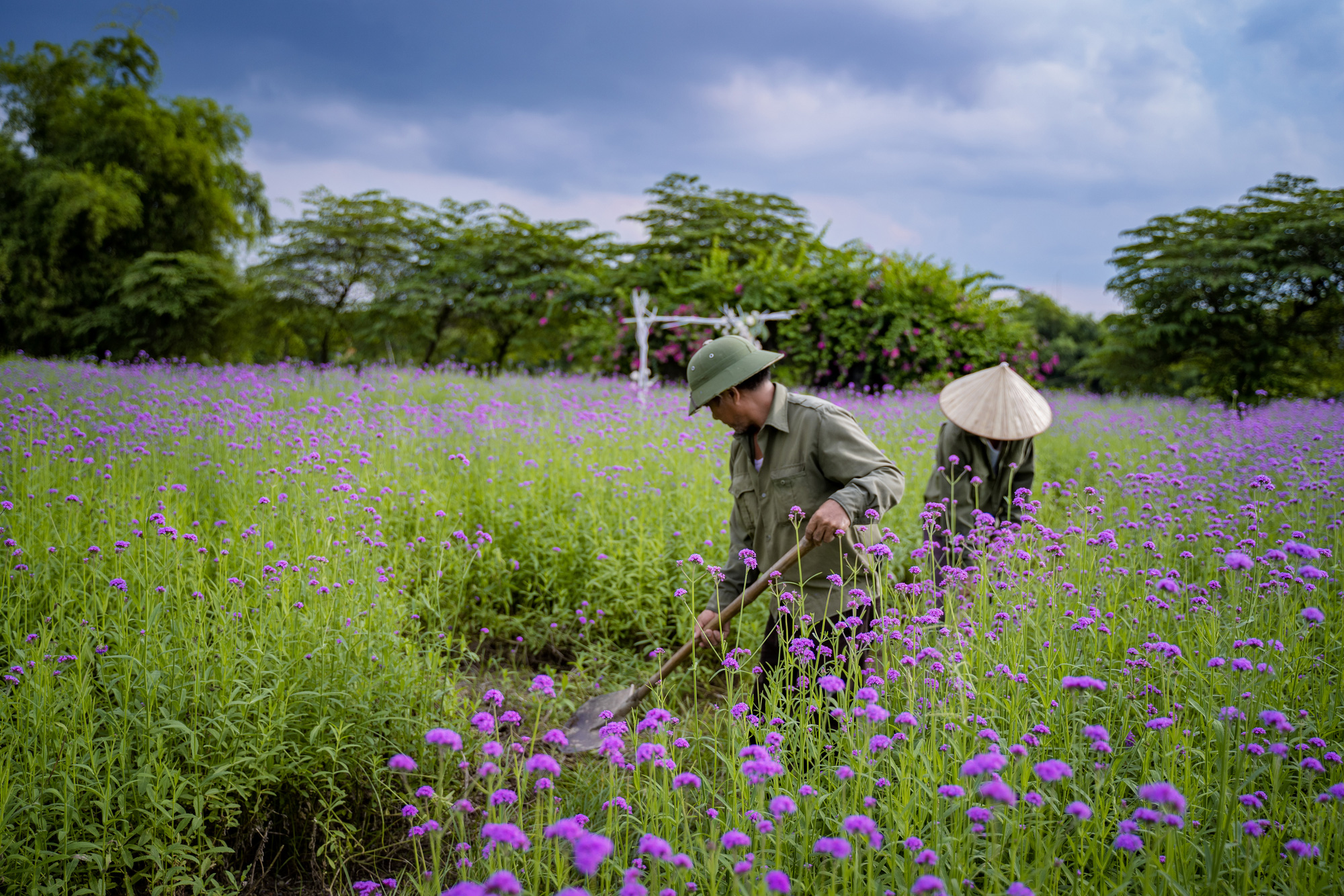 Workers tend to purpletop plants at a farm at the Long Bien flower plateau in Hanoi, Vietnam. Photo: Pham Tuan / Tuoi Tre