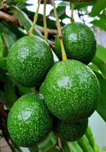 A file photo shows avocados on tree in the Central Highlands province of Dak Lak. Photo: Duyen Phan/ Tuoi Tre