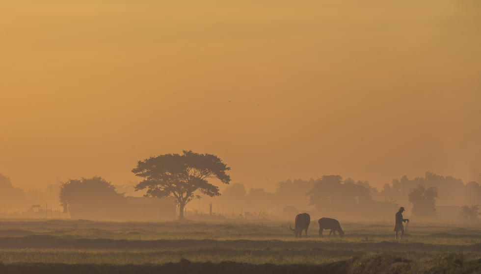 A farmer takes his buffalo to a field at sunrise in Ho Chi Minh City's Hoc Mon District. Photo: Vo Hung Manh