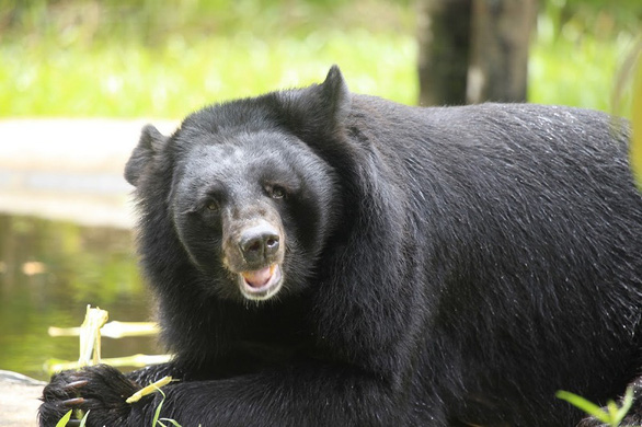 A rescued Asian black bear is revitalized in this photo.