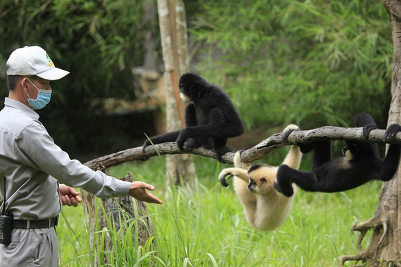 An employee of Vinpearl Safari Phu Quoc interacts with some of the primates.