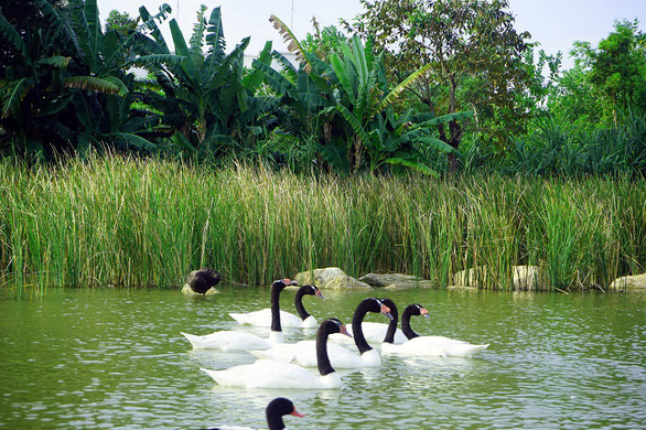 A bevy of black-necked swans is pictured in this photo taken at River Safari Nam Hoi An.