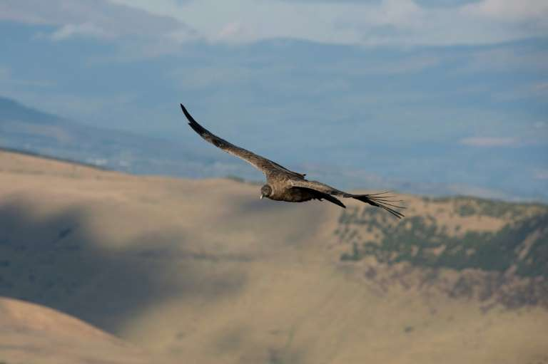 A female Andean Condor (Vultur gryphus) overflies the Chakana private reserve of the Jocotoco foundation, on the slopes of the Antisana volcano, 50 km southeast of Quito, on September 10, 2020. Photo: AFP
