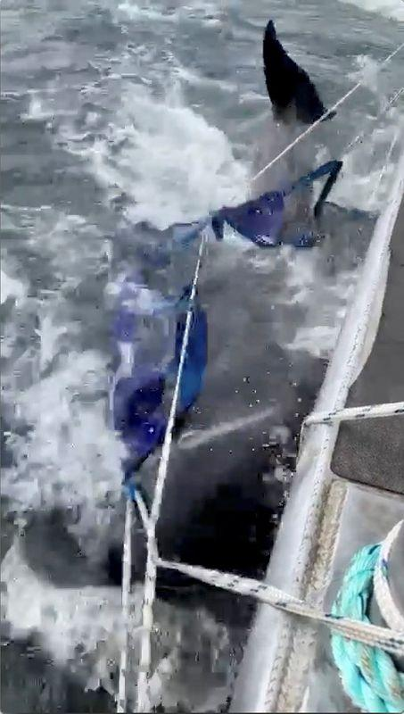 A whale is seen on harness on the side of a moving boat off the coast of Tasmania, Australia, September 22, 2020, in this still image from video obtained via social media. Photo: Reuters