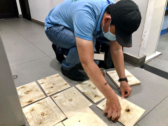 A rat hunter is carefully placing a series of sticky flat board traps on the floor where rats are supposed to move around frequently inside a restaurant in District 5, Ho Chi Minh City. Photo: Tuoi Tre