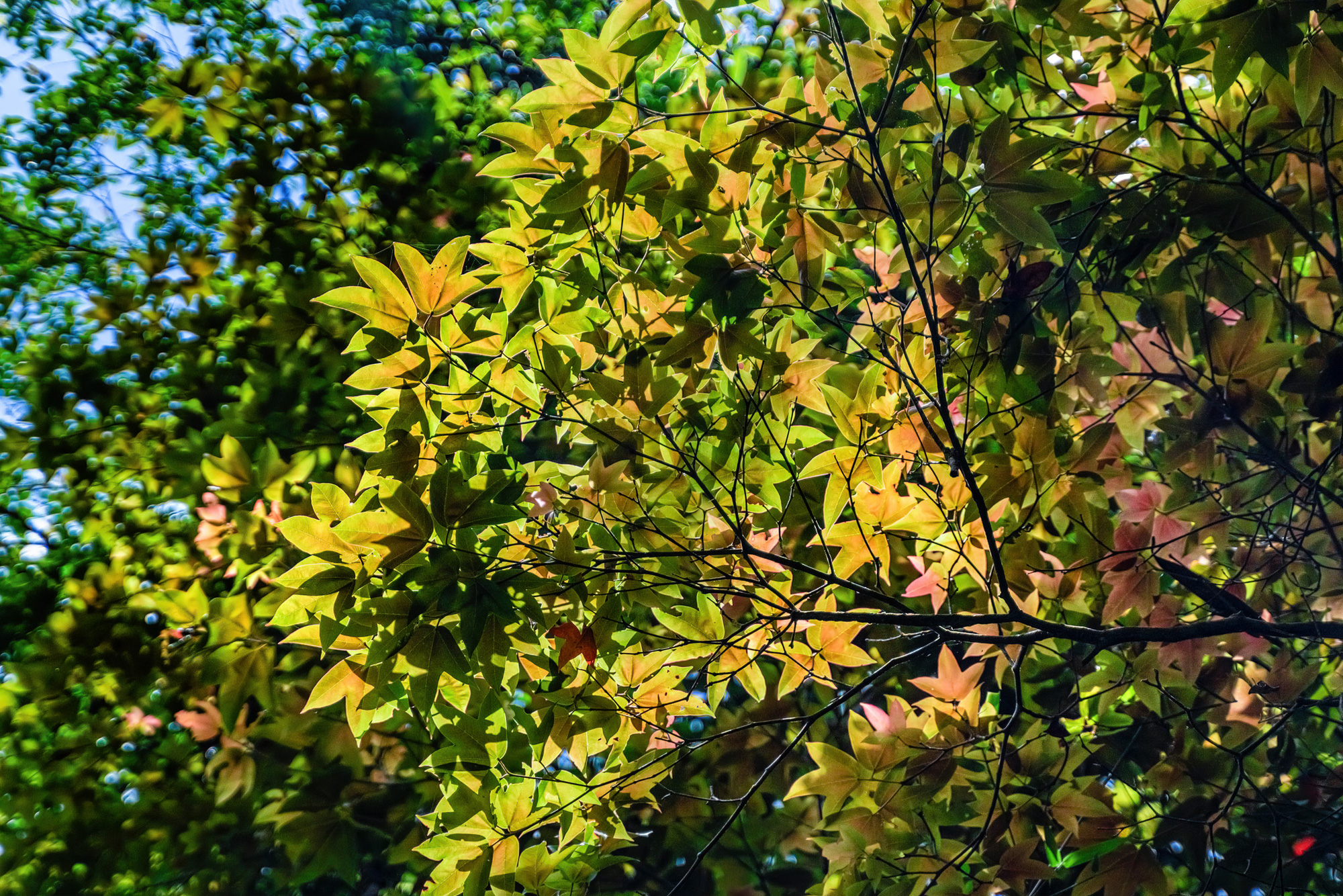 Tree leaves change color as sunlight passes through the canopy in Bach Ma National Park in Thua Thien-Hue Province, Vietnam. Photo: Tran Luu Anh Tuan / Tuoi Tre