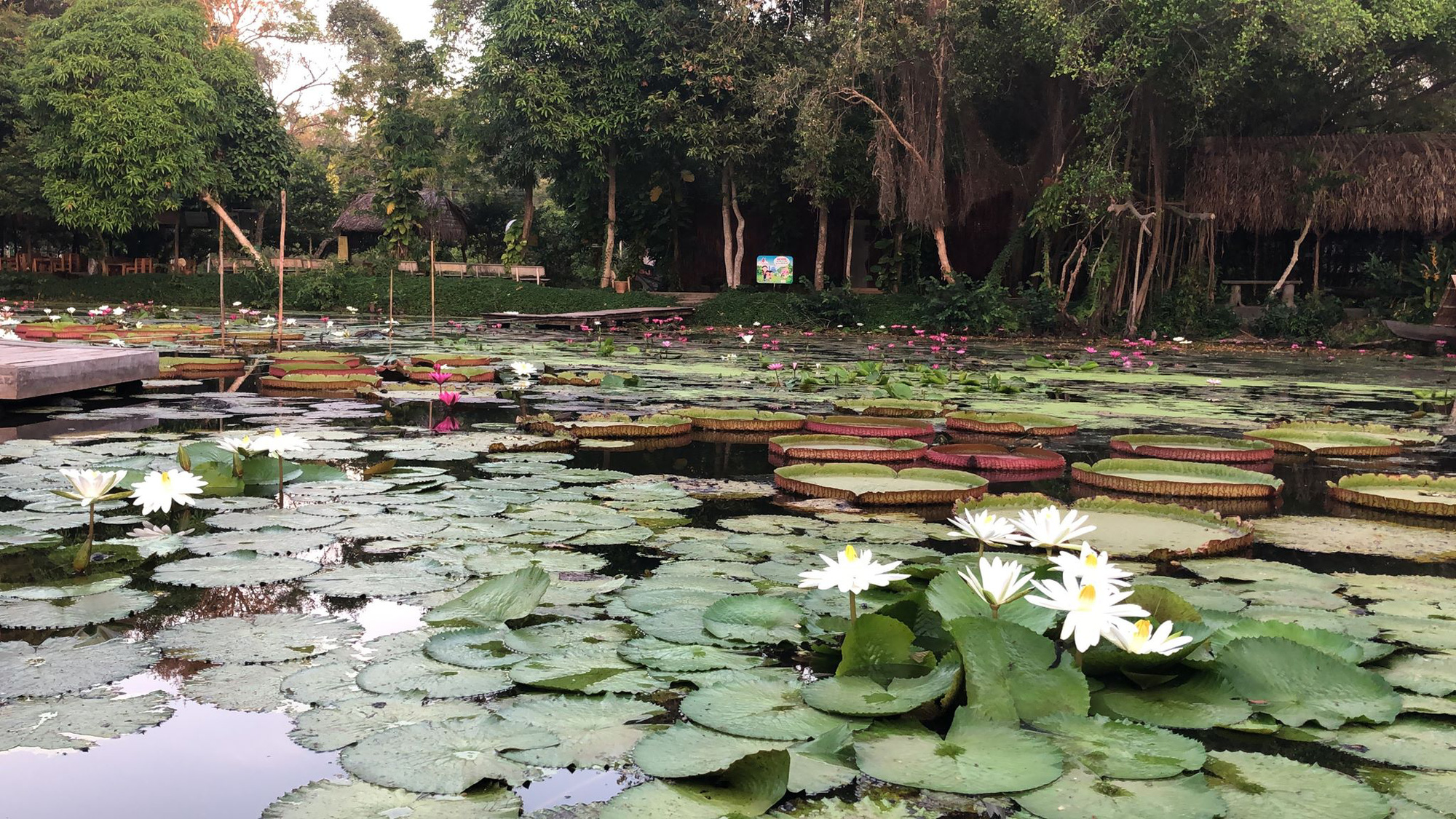 A water lily at the Xeo Quyt Tourism Area in Dong Thap Province, Vietnam. Photo: Ly Quoc Dang / Tuoi Tre