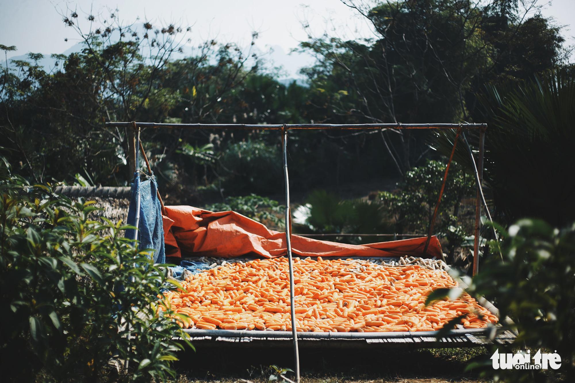 Harvested corn dries in the sun in Tong Pang Village, Lam Thuong Commune, Luc Yen District, Yen Bai Province, Vietnam. Photo: Mai Thuong / Tuoi Tre